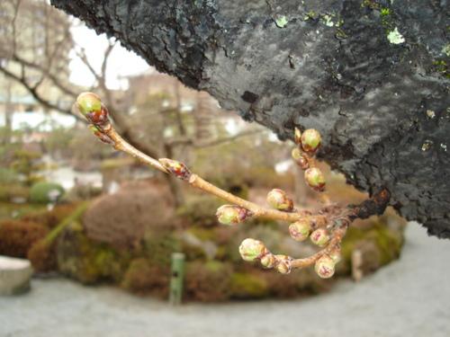 山梨県 温泉宿 桜の開花情報vol3