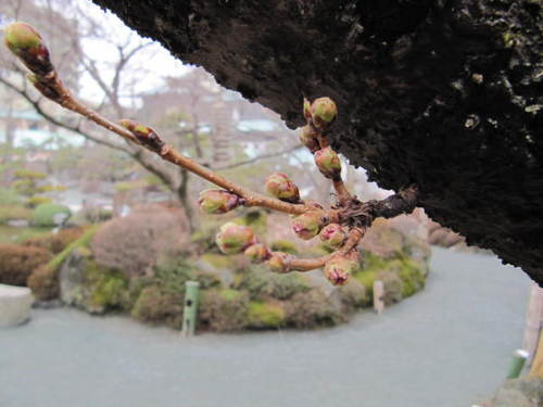 河口湖周辺 温泉宿 「桜の開花情報vol4」