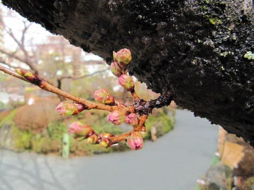 河口湖周辺 温泉宿 「桜の開花情報vol5」