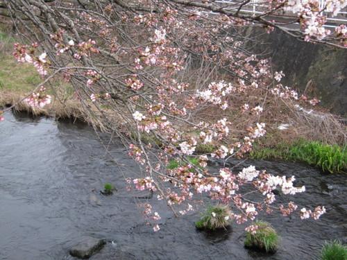 山梨県 温泉宿 「桜の開花情報vol6」