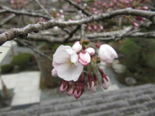 当館庭園の(桜)開花情報№4
