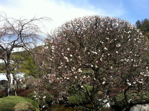 当館庭園の(桜)開花情報№2
