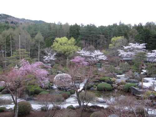 当館庭園の(桜)開花情報№5