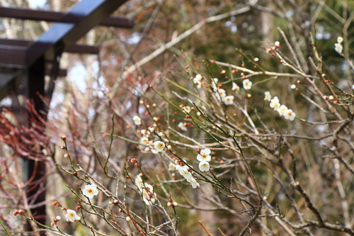 2017年庭園の梅・桜開花情報№2