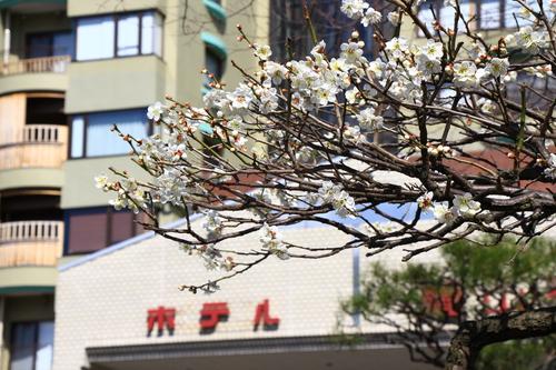 2017年庭園の梅・桜開花情報№5