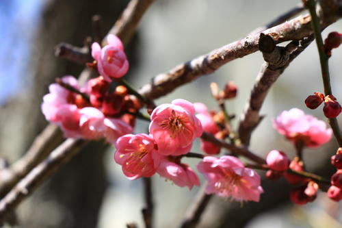 2018年庭園の梅・桜開花情報№4