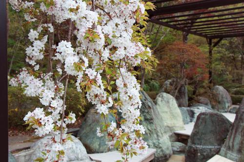 2018年庭園の梅・桜開花情報№16