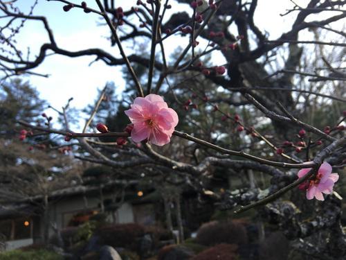 2019年庭園の梅・桜開花情報№1
