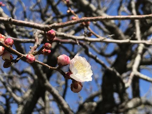 2019年庭園の梅・桜開花情報№3