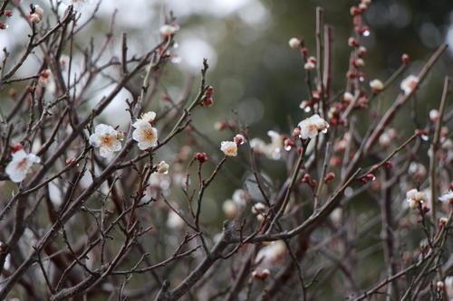 2019年庭園の梅・桜開花情報№2