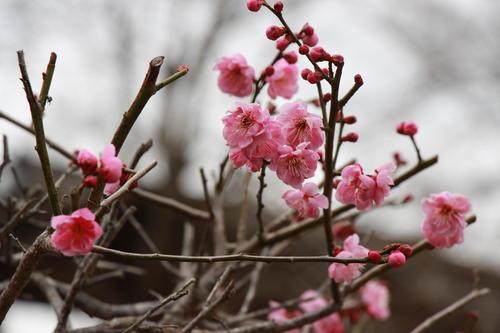 2019年庭園の梅・桜開花情報№4