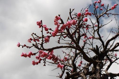 2019年庭園の梅・桜開花情報№5