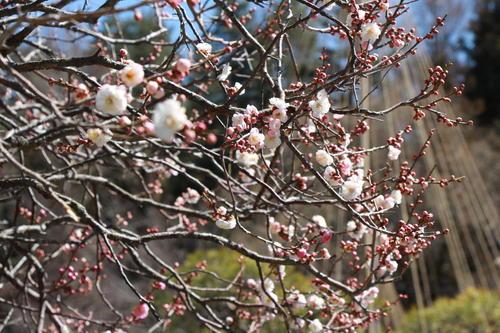 2019年庭園の梅・桜開花情報№6