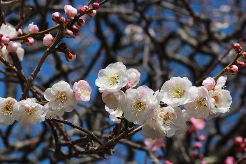 2019年庭園の梅・桜開花情報№8