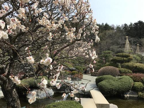 2019年庭園の梅・桜開花情報№11