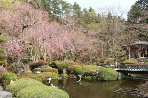 2019年庭園の梅・桜開花情報№18