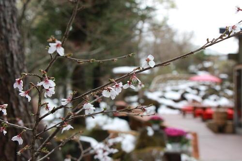 2019年庭園の梅・桜開花情報№20