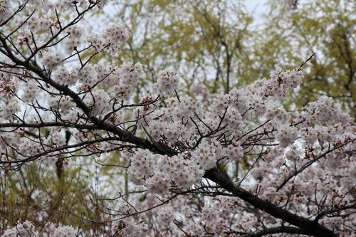 2019年庭園の梅・桜開花情報№25