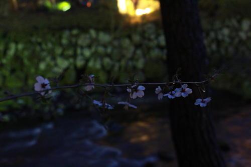 2019年庭園の梅・桜開花情報№26