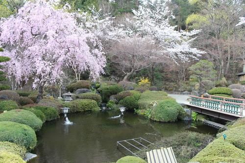 2019年庭園の梅・桜開花情報№27