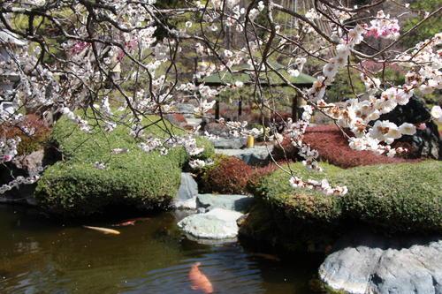 2019年庭園の梅・桜開花情報№16