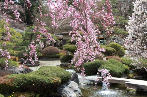 2019年庭園の梅・桜開花情報№22