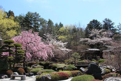 2019年庭園の梅・桜開花情報№24