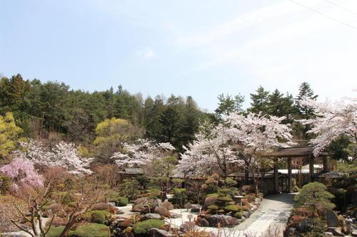 2019年庭園の梅・桜開花情報№28