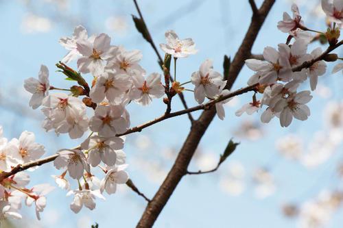 2019年庭園の梅・桜開花情報№29