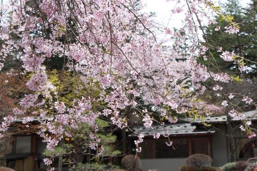 2019年庭園の梅・桜開花情報№30