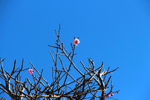 2020年庭園の梅・桜開花情報№5