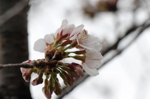 2020年庭園の梅・桜開花情報№10