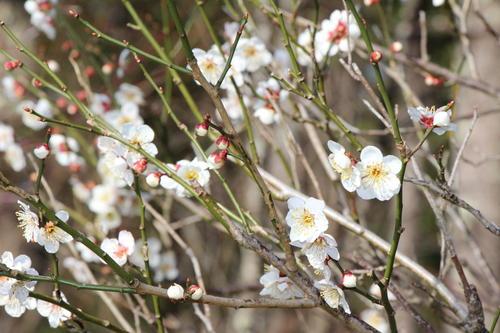 2020年庭園の梅・桜開花情報№4