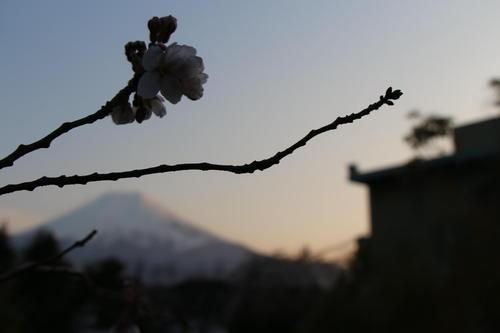 2020年庭園の梅・桜開花情報№14