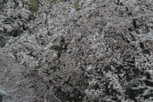 2020年庭園の梅・桜開花情報№15