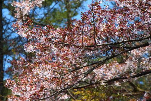 2020年庭園の梅・桜開花情報最終