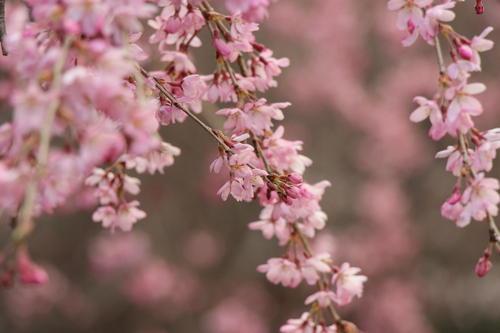 2020年庭園の梅・桜開花情報№12