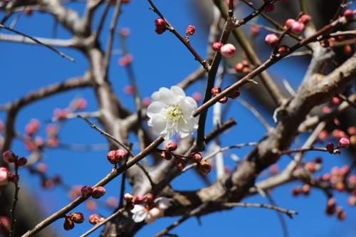 2021年庭園の梅・桜開花情報№1
