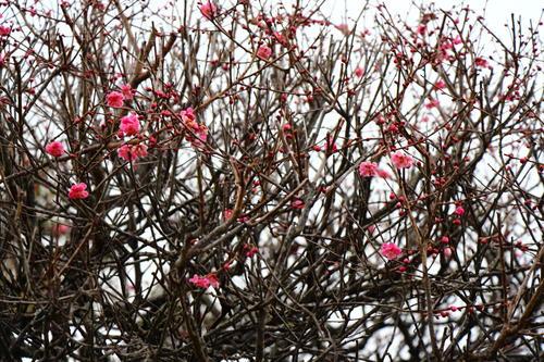 2021年庭園の梅・桜開花情報№2