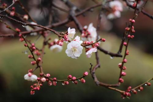 2021年庭園の梅・桜開花情報№3