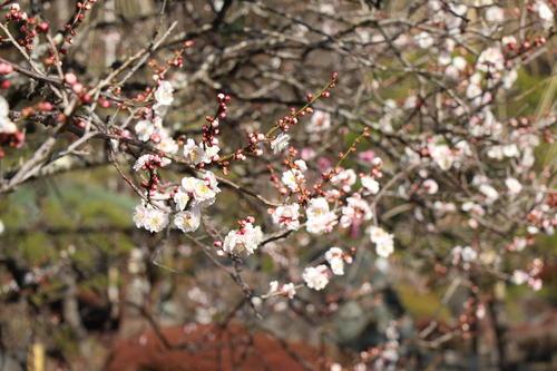 2021年庭園の梅・桜開花情報№4