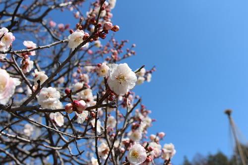 2021年庭園の梅・桜開花情報№5