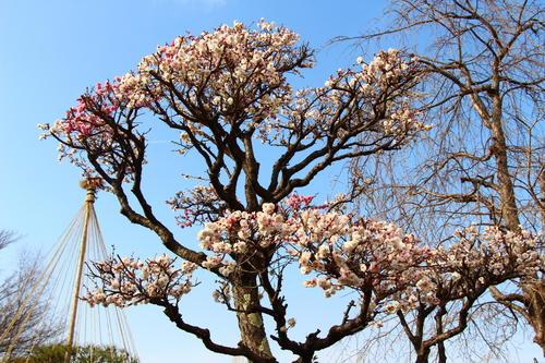 2021年庭園の梅・桜開花情報№6