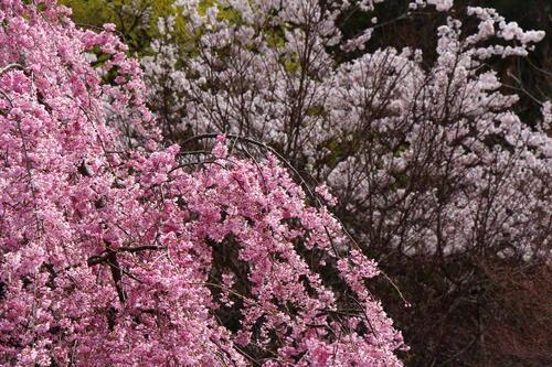 2021年庭園の梅・桜開花情報(最終)